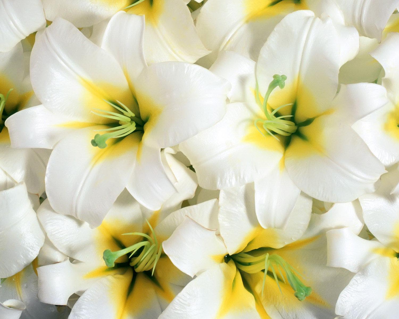 Белые цветы лилии фото