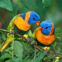 دو طوطی خوش رنگ