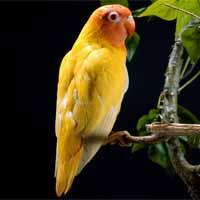 طوطی زرد رنگ